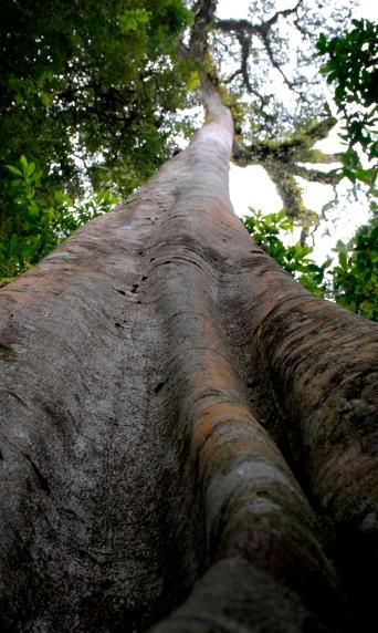 uganda_tree_vert